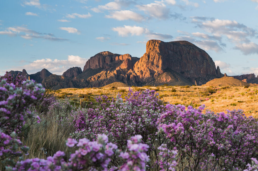 sagebrush-in-bloom-at-the-chisos