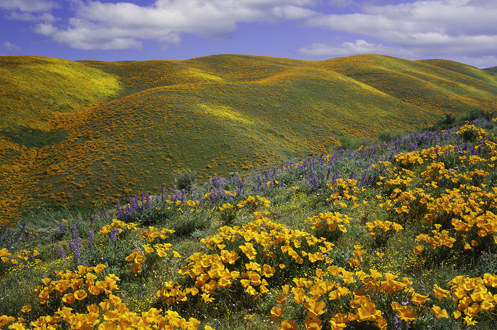 golden-poppies-on-a-field-next-to-hills-in-california